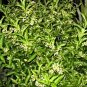 NIGHT BLOOMING JASMINE CESTRUM PLANT GARDEN GARDENING unrooted cutting