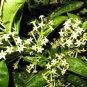 NIGHT BLOOMING JASMINE CESTRUM PLANT GARDEN GARDENING unrooted cutting