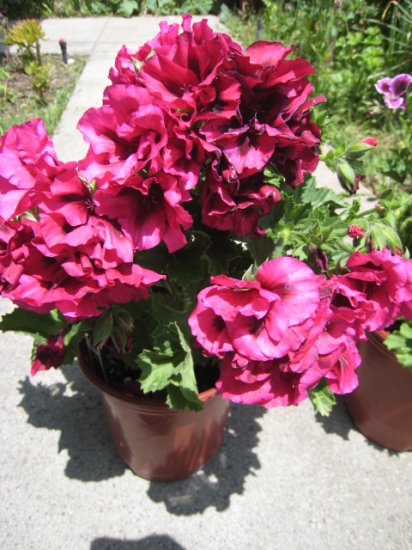 FUCHSIA PINK MARTHA WASHINGTON FLOWER GERANIUM CUTTING PLANT HOME GARDEN BUNCH