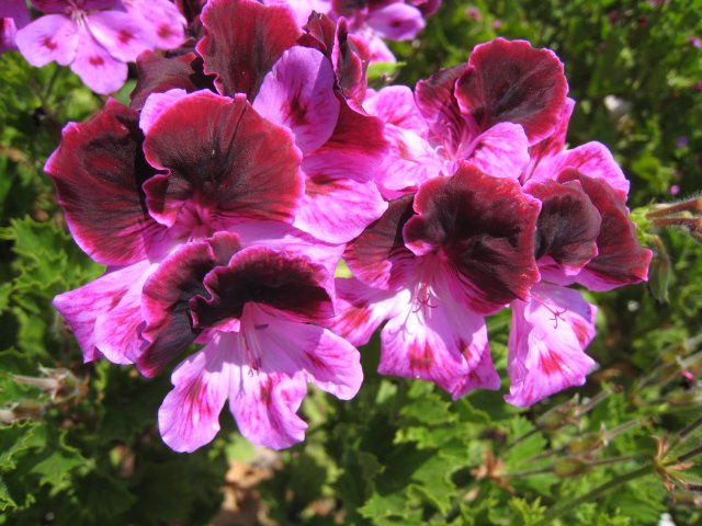 twilight geranium martha washington cutting plant flower spring hobby garden gardening landscape