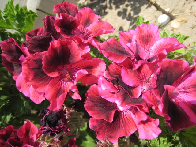 RED MARTHA WASHINGTON FLOWER GERANIUM CUTTING PLANT HOME GARDEN BUNCH
