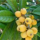 like peach pear apple LOQUAT PI PA FRUIT TREE CUTTING GARDEN PLANT HOME