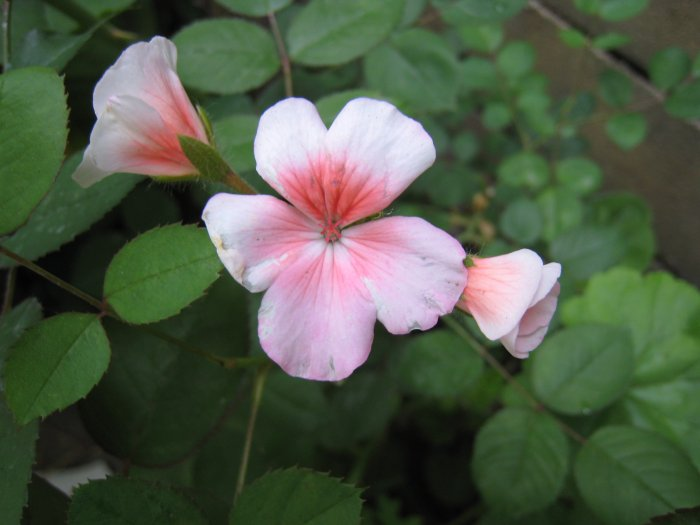 SNOW WHITE PINK FLOWER GERANIUM CUTTING PLANT GARDEN HOME