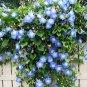 PROMO SALE - blue MORNING GLORY FLOWER 100 SEEDS SEED PLANT Dicotyledonae HOME GARDEN VINE