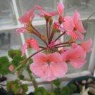 PINK FLOWER GERANIUM CUTTING PLANT GARDEN HOME gardening hobby