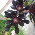 dark red brown black ROSE JADE SUCCULENT CACTUS CUTTING PLANT TREE FLOWER home garden bonsai