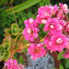pink KALANCHOE CUTTING FLOWER GARDEN PLANT SEED HOME HOBBY GIFT DECOR SUCCULENT