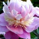 pink creme Amazing Delicate Garden Peony 'Sorbet' Gorgeous flower plant tuber garden family home