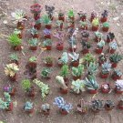 LOT 36 MISC SUCCULENT COLLECTION 36 SPRING SPECIMENS garden home hobby plant cactus