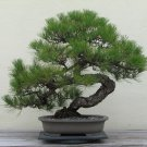Japanese black pine tree - Pinus T. - PRE bonsai plant GARDEN HOME HOBBY