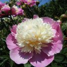 1 root peony bowl of beauty pink creme garden home plant hobby flower