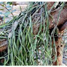 Cissus quadrangularis cutting Veldt Grape Devil's Backbone Plant Medicinal home garden hobby