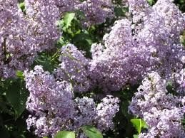 10 seeds 2011 crop Old fashion purple lilac hardy perennial home garden hobby