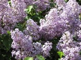 live starter plant Old fashion purple lilac shrub bush hardy perennial home garden hobby