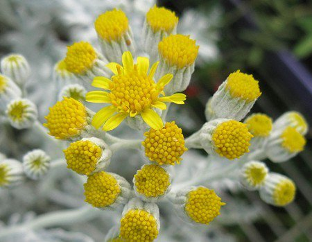 ghost WHITE PLANT CUTTING Dusty Miller Groundsel Ragwort Butterweed Senecio Flower GARDEN HOME HOBBY