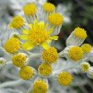ghost WHITE PLANT CUTTING Dusty Miller Groundsel Ragwort Butterweed Senecio Flower GARDEN HOME HOBBY