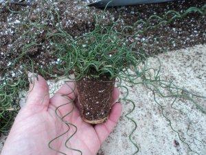 Juncus effusus Spiralis Corkscrew Rush Medusa succulent