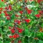 PINEAPPLE SAGE SALVIA ELEGAN PLANT herb flower CUTTING SPRING HOME GARDEN