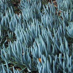 BLUE SILVER chalk FINGER CUTTING senecio mandraliscae cactus SUCCULENT HOME GARDEN