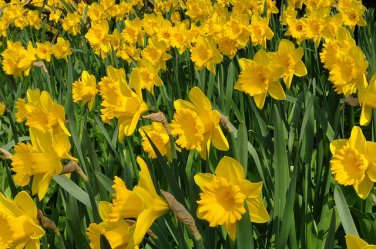 Yellow daffodil DAFFODILS FLOWER 3 BULB BULBS PLANT SEED HOME GARDEN