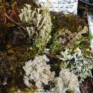 LIVE MIXED MOSS lichens 1 QUART BAG BONSAIS TERRARIUM garden hobby decor collectible