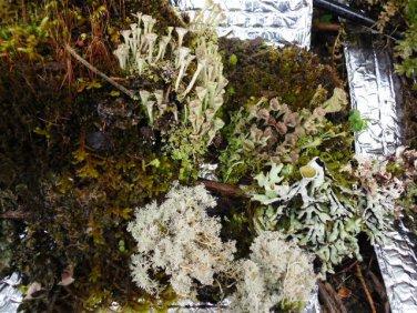 LIVE MIXED MOSS lichens 1 QUART BAG BONSAIS TERRARIUM garden hobby decor collectible