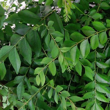 FRESH Curry Leaves Murraya Koenigii Kadi Patta 3/4 oz ~150 leaves home garden cooking