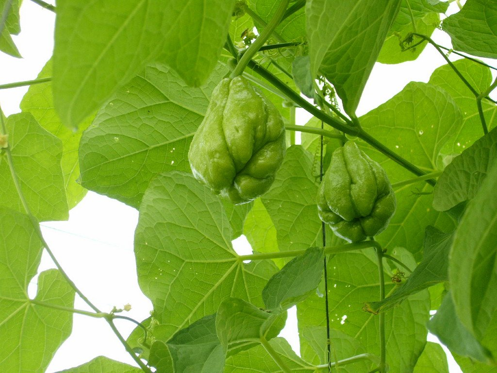 chayote vegetable pear fruit seed plant home garden cooking hobby