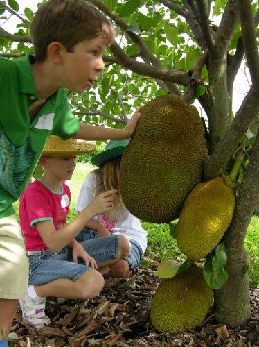 jackfruit tropical yellow fruit lot 3 seed plant home garden hobby collectible