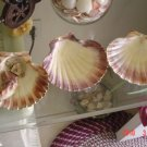 Nautical Decoration Sea Shell Clam Shell