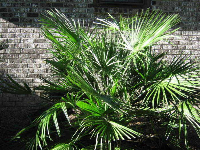 European Fan Palm (Chamaerops humilis) 20 seeds