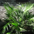 European Fan Palm (Chamaerops humilis) 20 seeds