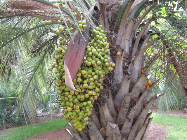 Pindo Palm (Butia capitata) 25 seeds
