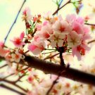 Sakura Cheer