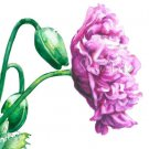 Violet Poppy Print Watercolor Floral Painting Vibrant colors Realistic Summer Flowers Home Art Gift