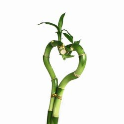 Heart Shaped Lucky Bamboo Stalk