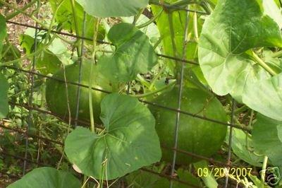 15 GOURD SEEDS Bushel Gourd LARGE GOURDS
