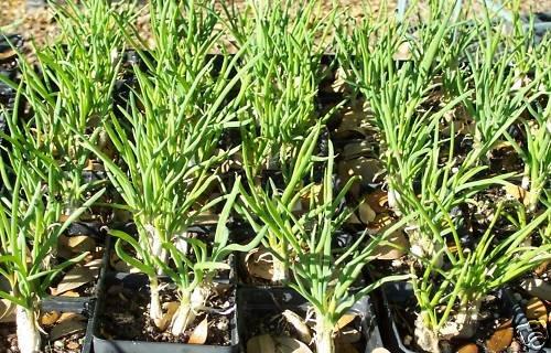 Multiplier Onions HEIRLOOM  4 in POTS (2) Perennial