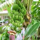 Banana Tree Plant 3 Gallon, Healthy Delicious Bananas