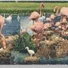 MIAMI, FLORIDA/FL POSTCARD, Flamingos Hialeah Park