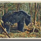 PENNSYLVANIA/PA POSTCARD, Big Black Pennsylvania Bear