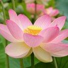 Nelumbo Nucifera ~PINK LOTUS  5~ Lily Pad seeds