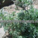 500 ABSINTHE HERB Artemisia Absinthium WORMWOOD seeds