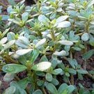 "2250 ""Gruner"" RED PURSLANE Seeds *Specialty Greens* -"