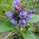 225 Selfheal SELF HEAL seeds HEAL ALL Prunella Vulgaris