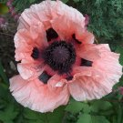 200 ORIENTAL POPPY MIX seeds- Papaver Orientale