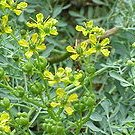 450+ COMMON RUE Ruta Graveolens seeds- wiccan herb