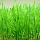1 oz. WHEATGRASS SEEDS *Wheat Grass* Triticum Aestivum -
