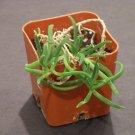 200 Delosperma Bosseranum ICE PLANT Mesemb seeds -