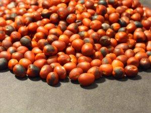10 *MESCAL BEANS* Sophora Secundiflora seeds -